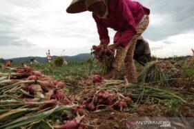 Puluhan Petani Bawang Imogiri Mengeluh, Duit Penjualan Rp340 Juta Belum Dibayar Tengkulak