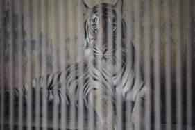 Ahli IPB: Harimau Tak Bisa Tularkan Corona ke Manusia