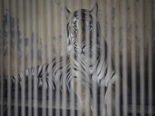 Gubernur DKI Minta Dua Harimau Ragunan Dites PCR