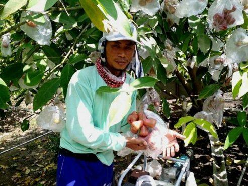 Petani Jambu Air Di Grobogan Ini Namanya Mirip Nama Penyanyi Indonesia