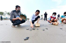 Kunjungan Kerja Di Cilacap, Presiden Jokowi Sempatkan Lepas Tukik di Pantai Kemiren