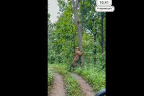 Sempat Viral, Video Harimau di Kedungjati Grobogan Ternyata Hoaks