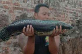 Penemuan Ikan Buas di Trucuk Klaten, Ini Dugaan Asal Usulnya Menurut Dukun Channa