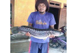 Heboh Ikan Toman Si Predator Ditemukan di Klaten & Sukoharjo, Ini Asal-Usulnya