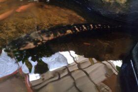 Dijuluki Predator, Benarkah Ikan Toman Seperti di Waduk Mulur Lebih Ganas dari Piranha?