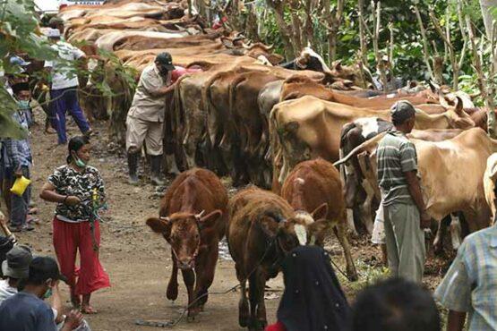 Layanan Kesehatan Gratis Hewan Ternak di Banyuwangi