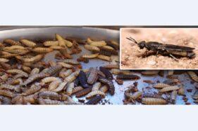 Budidaya Maggot Si Pemakan Sampah Organik Marak di Klaten, Ini Kendala yang Sering Muncul