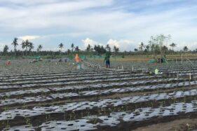 Dulu Diolok-Olok, Petani Pesisir Kulonprogo Kini Sukses Jadi Pemasok Cabai Nasional