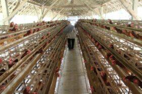 Harga Pakan Mahal & Telur Murah Bikin Peternak Ayam di Klaten Bangkrut