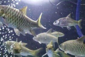 Mitos & Fakta Unik Ikan Dewa