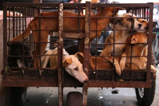 Pedagang Daging Anjing asal Sragen Divonis 10 Bulan Penjara