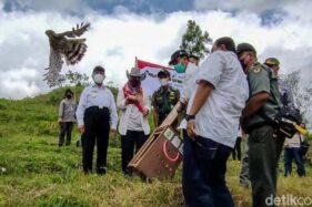 Wow! Sepasang Elang Dilepasliarkan di Perbukitan Menoreh Kulonprogo