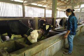 Susu Jadi Komoditas Andalan Desa Banyuanyar Boyolali